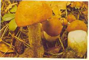 leccinum-bjelogoricni-turcin1