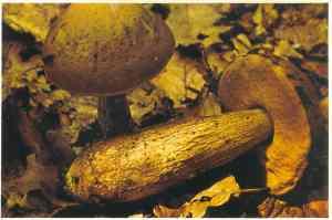 leccinum-caprini-grabov-vrganj1