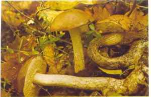 leccinum-scabrum-djed1