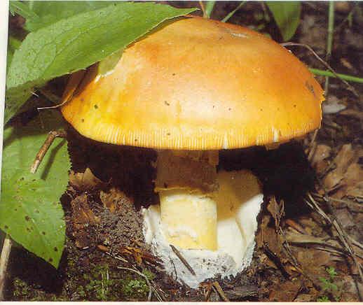 gljive Knjeginja-Blagva