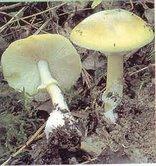 Gljive zelena pupavka 3