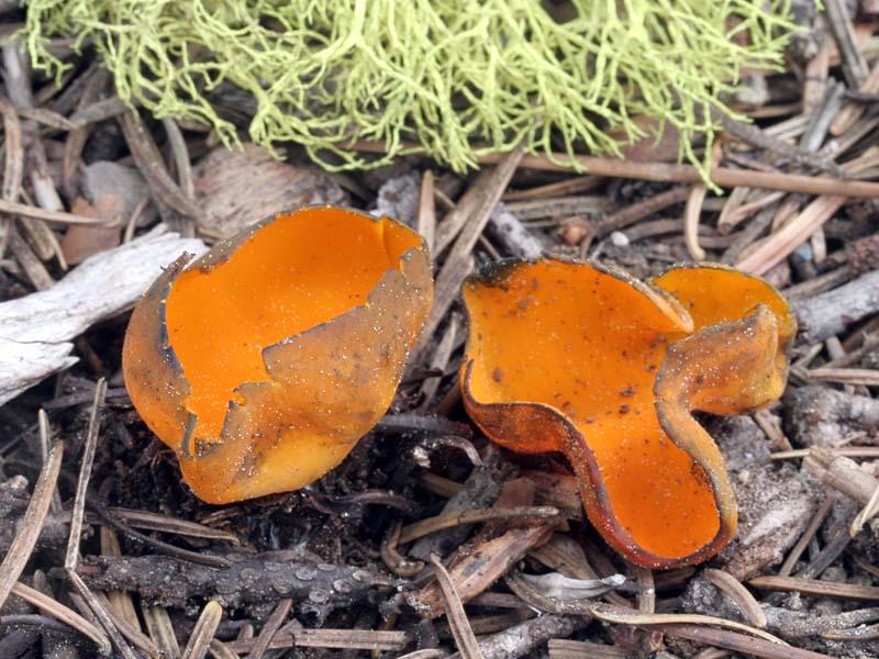 Caloscypha fulgens