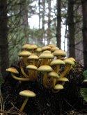 gljive Armillaria  melea