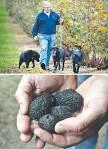 gljive crni tartuf 2