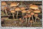 Gljive Galerina Marginata 2