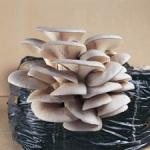 Pleurotus ostreatus-bukovaca