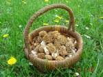 gljive smrci u korpi