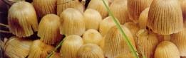 cropped-gljive-toadstols-6-str-dole.jpg