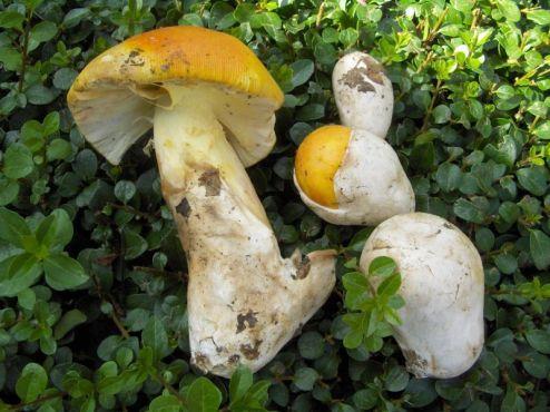 gljive-amanita-caesarea-blagva.jpg