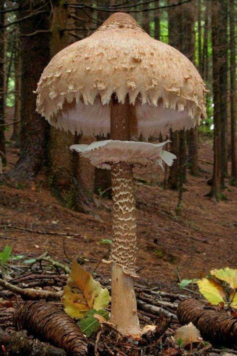 Parasolka Macro lepiota procera suncanica