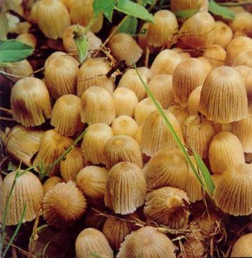 gljive-polje-malih-gljiva