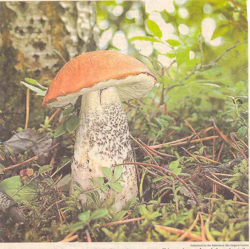 Gljive Lecinum boreale